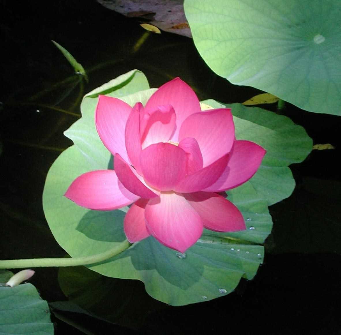 Tips To Create A Lotus Pond In Your Apartment